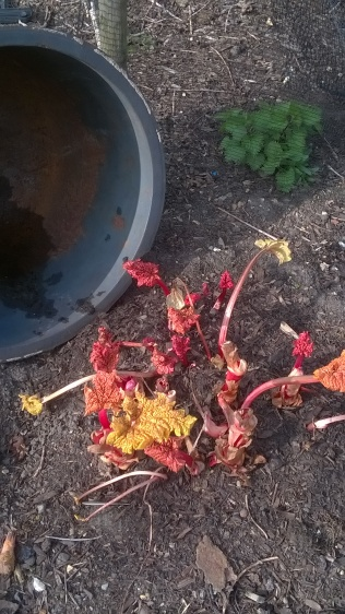 first rhubarb pickings..what's left!