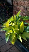 Hostas putting on new, beautifully fresh foliage