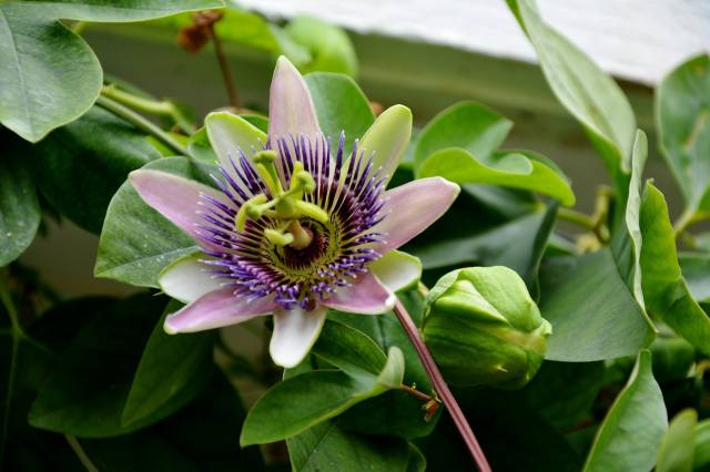 Passion flower- picture by Bob Phillips