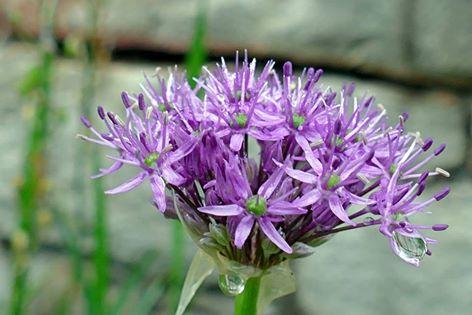 Allium flower by Ellen Zillin