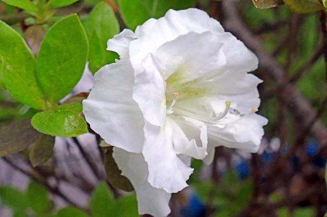 White Azalea- picture by Ellen Zillin