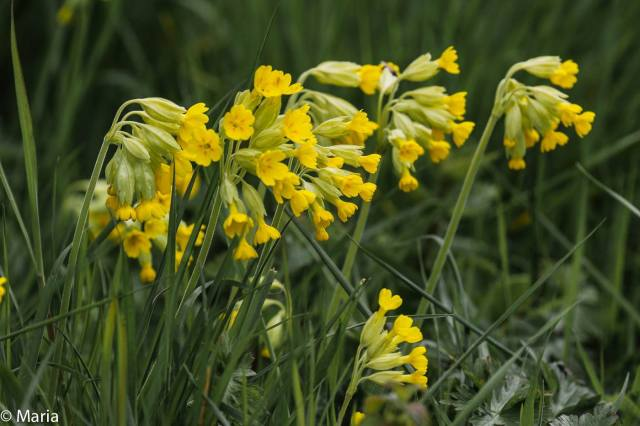 Cowslips -picture by Maria Rhoades