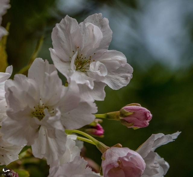 Prunus amanogawa - picture by Anita Gowing