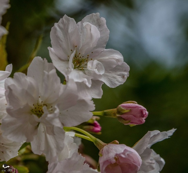 Prunus amanogawa - picture by Anita Gowing