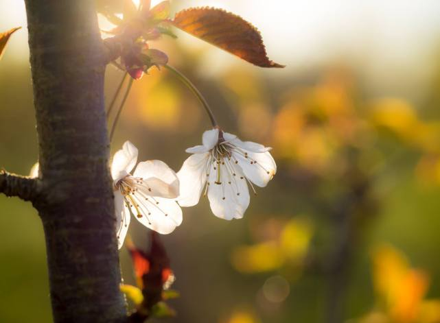 Blossom at sunset- picture by Sarah Walters