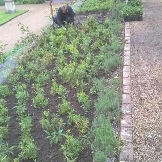 Planting out the Penstemons...