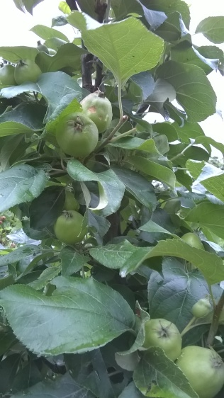some good looking apples coming along on 'super columns'