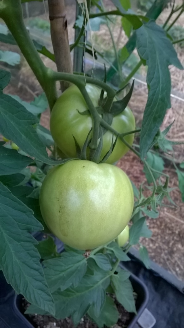 Good sized tomatoes...come on, ripen!