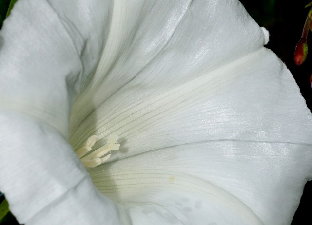 bindweed- picture by Lill  Dunne
