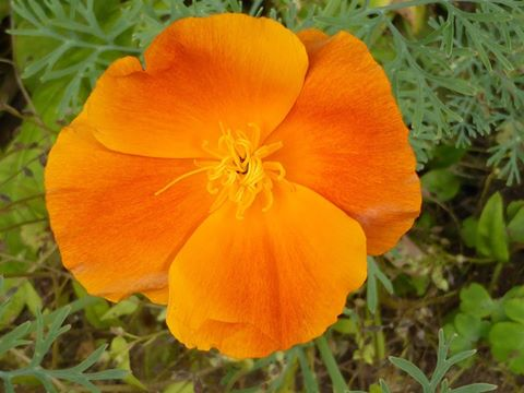 calif poppy moyra turton