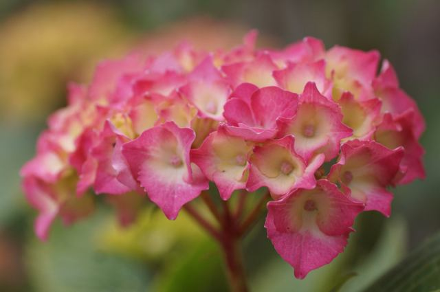 Hydrangea, picture by Shirley Goodlife