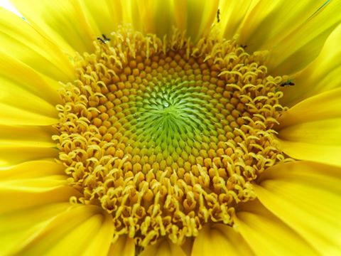 Sunflower- picture by Ellen Zillin