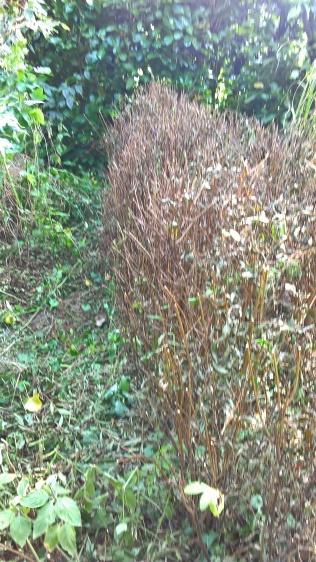 ...and plenty of other hedges trimmed back