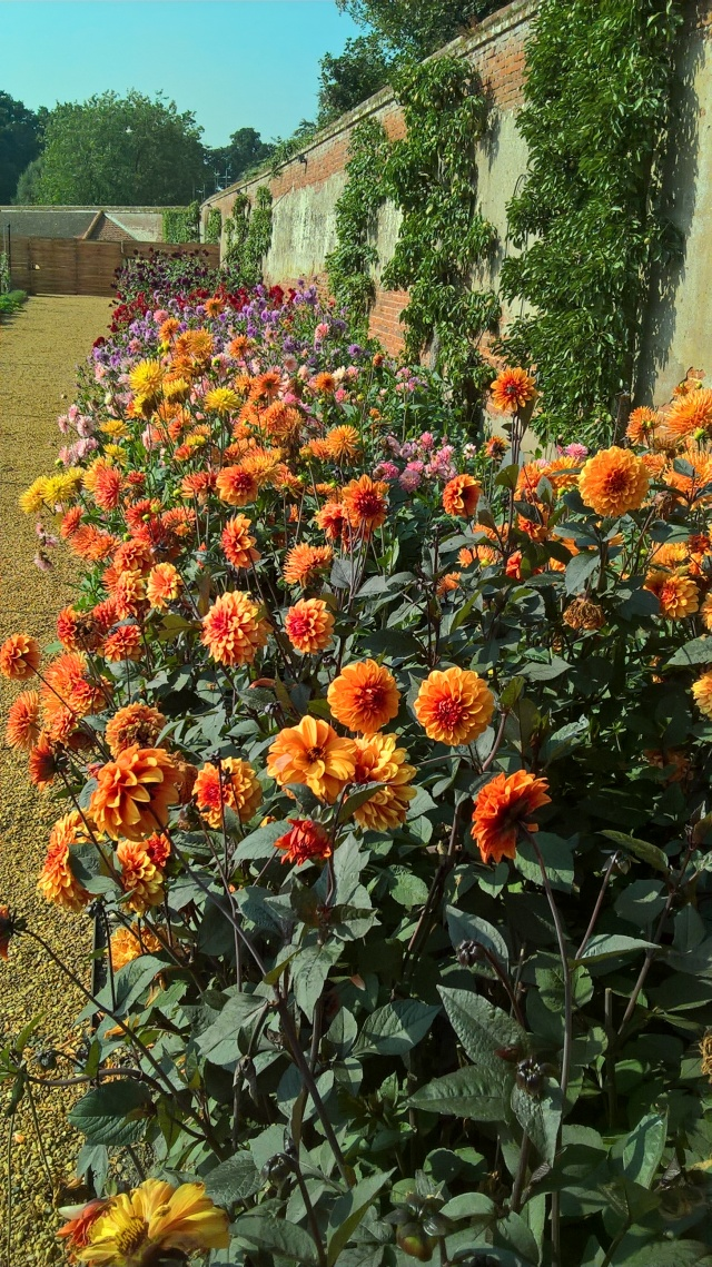 Dahlia 'David Howard' putting on a show with it's partners in the Walled Garden