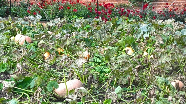 Some of the squash beds awaiting harvesting and clearing