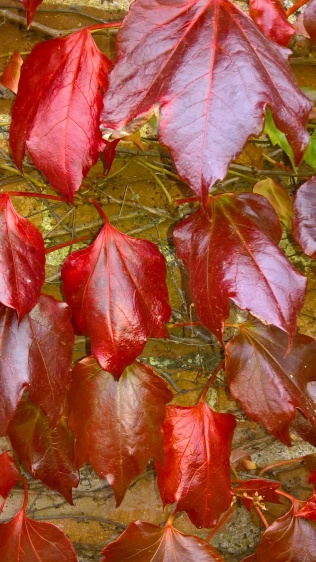 ...Boston Ivy strarting to turn..