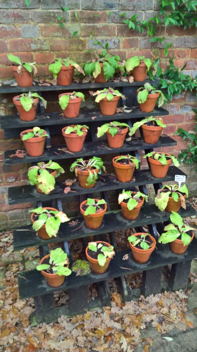The 'Plant Theatre' with a new cast of Candelabra Primula