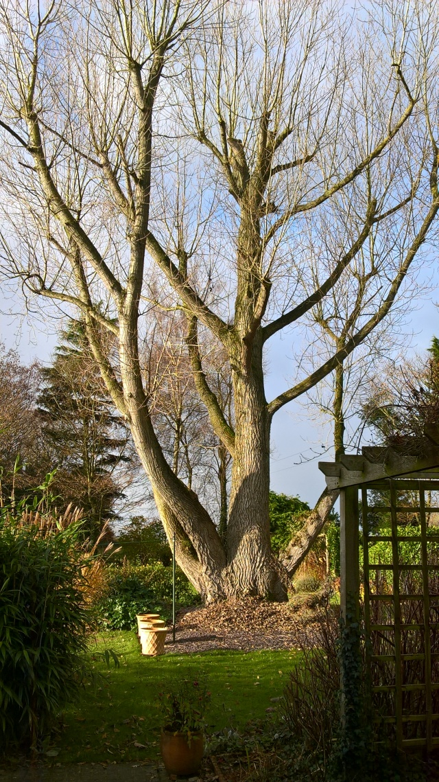 The framework revealed- the Black Poplar in Old School Garden