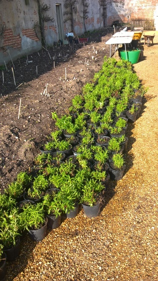 ...Penstemons potted!