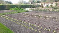 lettuce beginning to bulk...