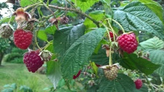 More raspberry plants than we need...the great giveaway soon..