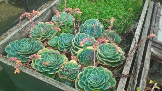 Echeveria- soon to be put under cover for the winter