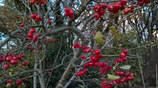 ....crab apples definitely red..