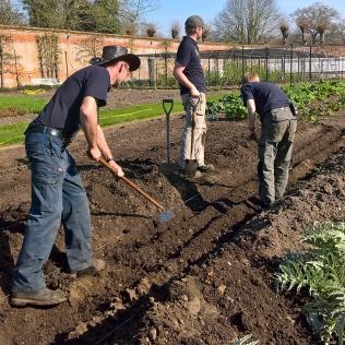 Planting asparagus at Blickling...