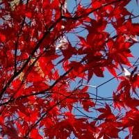 ACER PALMATUM 'BLOODGOOD' — The Garden of Eaden